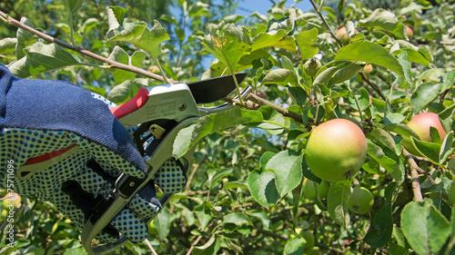 Obstbaumschnitt - 75711096
