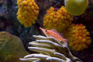 Hawkfish and coral