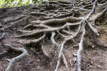 Contrastive tangled tree roots coming of the ground