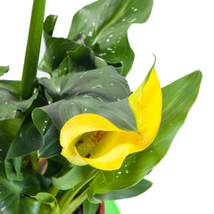 Calla yellow on a white background