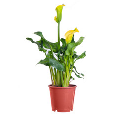 Calla yellow blooming in a pot on white background