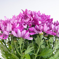Chrysanthemum pink lot on white background