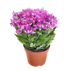 The pink chrysanthemum in a pot on white background in full size