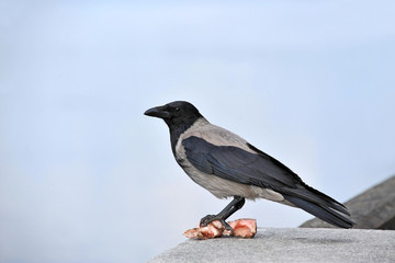 Raven with piece of meat and bone