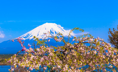 Mount Fuji and Weeping cherry blossom under the blue sky