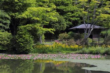 鳥見山公園 睡蓮と黄菖蒲の競演