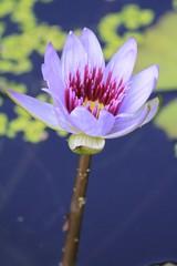 Purple Water Lily Flower - Pond