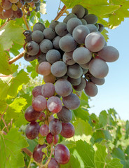 Grapes in the vine