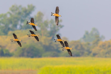 Small group of Lesser whistling duck(Dendrocygna javanica)