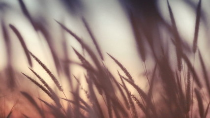 close-up field of feather grass at sunset