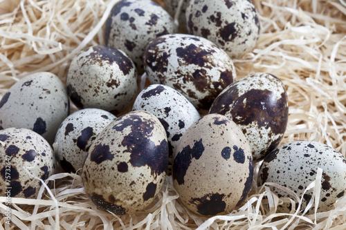 Spotted Wachteleier im Nest aus Holzwolle, close-up - 75732647