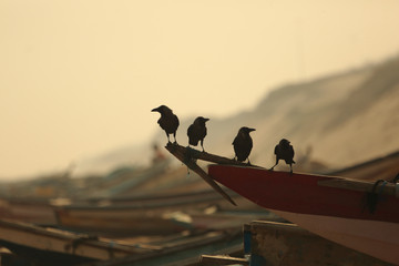 Crows on boats