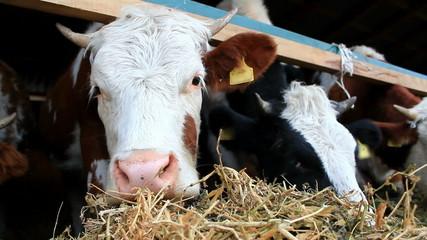 Cute cow in close-up