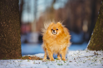 red small spitz dog outdoors in winter
