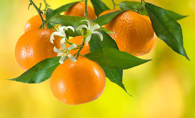 ripe tangerine on a yellow background