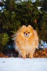 adorable spitz dog outdoors in winter