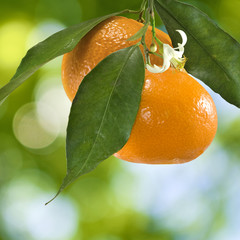 image of ripe sweet tangerine