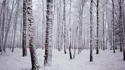 Panoramic shot of trunks of birch trees in winter forest