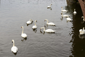 swans in river Exe, Exeter