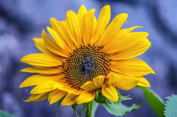 sunflower with violet background