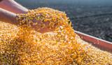 Corn seed - 75741238