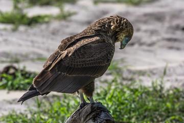 Portrait d'aigle d'afrique