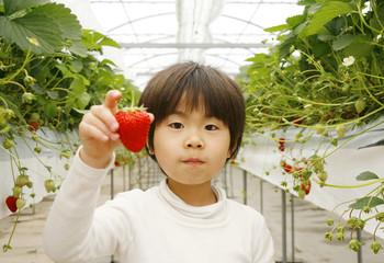 イチゴ狩りする男の子