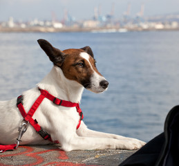 Portrait of a Jack Russel dog
