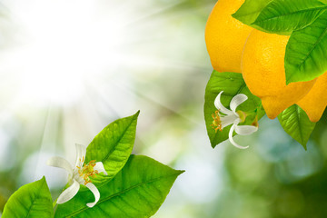 branches with lemons
