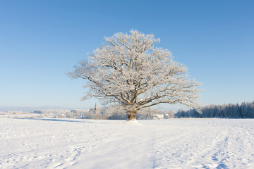Old oak in hoarfrost against the blue sky and the church