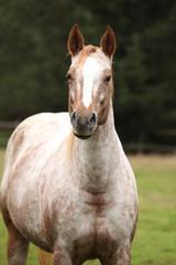 Potrait of beautiful appaloosa mare