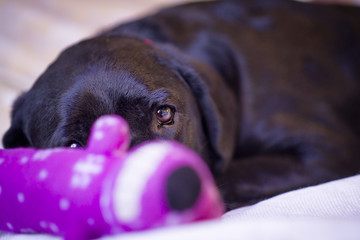Labrador Retriever Peering Out From Behind Her Toy