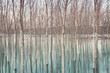 Birches in flooded countryside, natural pattern - 75750212