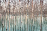 Fototapety Birches in flooded countryside, natural pattern