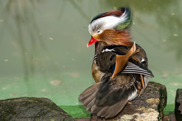 Isolated mandarin duck  on the green water background