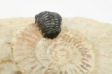 winzige Fossilien (Trilobit, Ammonit)
