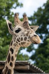 Portrait of a curiuos giraffe
