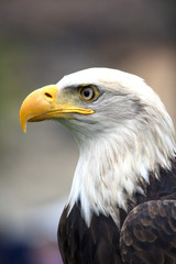 A beautiful american white-headed eagle