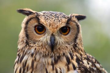 Portrait f a owl