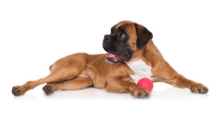 red german boxer dog with a ball