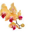 orange   orchid branch