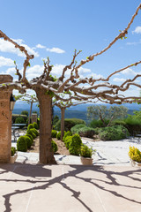 Mulberry tree in Provence cut in a traditional way