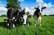 Vier Rinder auf einer Sommerweide schauen neugierig - 75759063