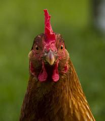 Close up of hen head