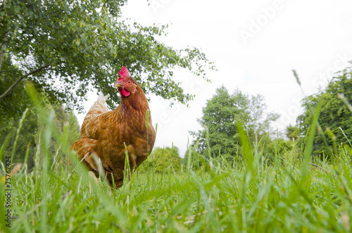 Tuinposter Kip Free range hen from ground level with copyspace