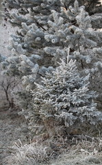 winter Hoarfrost on branches of a tree