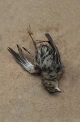 dead field sparrow