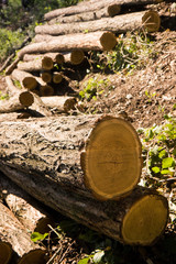 Cut Tree Logs in the woods (Tuscany - Italy)