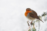 Robin in the white
