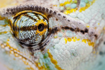 veiled chameleon is staring at the camera